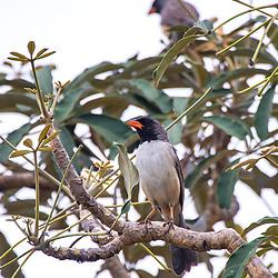 Bico-de-pimenta (Saltatricula atricollis) fotografado no Parque Nacional da Chapada dos Veadeiros - Goiás. Bioma Cerrado. Registro feito em 2015.<br /> ⠀<br /> ⠀<br /> <br /> <br /> <br /> <br /> <br /> ENGLISH: Black-throated Saltator photographed in Chapada dos Veadeiros National Park - Goias. Cerrado Biome. Picture made in 2015.