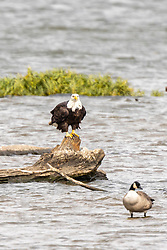 The bald eagle is a bird of prey found in North America. A sea eagle, it has two known sub-species and forms a species pair with the white-tailed eagle.