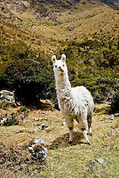 A llama on the Inca trail in the Peruvian Andes
