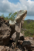 Green Iguana (Iguana iguana)<br /> Slagbaai National Park<br /> BONAIRE, Netherlands Antilles, Caribbean<br /> HABITAT & DISTRIBUTION: Varied habitat from Mexico south to Southern Brazil and Paraguay & Caribbean Islands.