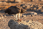Martial Eagle (Polemaetus bellicosus) Feeding on a helmeted guineafowl (Numida meleagris).  Martial eagles are the largest eagles in Africa. They soar over the plains and scrublands of sub-Saharan Africa, hunting everything from gamebirds, snakes and lizards, to jackal, domestic goats and mammals as large as small antelopes. Martial eagles reach around 80 centimetres in length and patrol a territory of about 130 square kilometres.