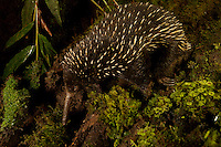 Long-beaked Echidna (Zaglossus bartoni)<br />