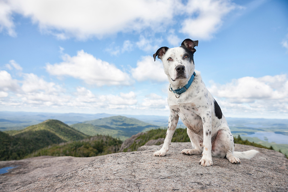 Black and white mutt sitting one the summit of Ampersand mountain, looking at the camera