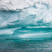 Four Cape Petrels (Daption capense) float on the water under the overhang of an iceberg in Curtis Bay on the Antarctic Peninsula.