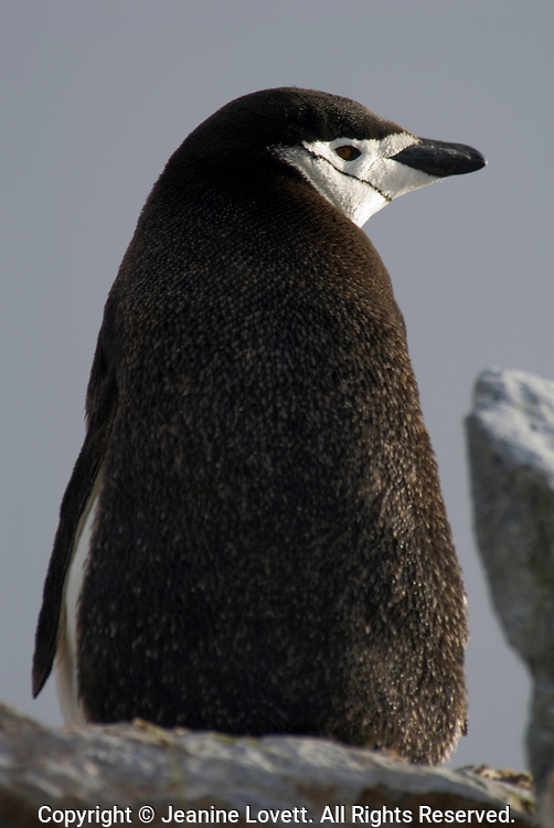 Chinstrap penguin stands high on the rocks looks over its shoulder.