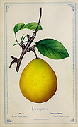 Lawrence Pear from Dewey's Pocket Series ' The nurseryman's pocket specimen book : colored from nature : fruits, flowers, ornamental trees, shrubs, roses, &c by Dewey, D. M. (Dellon Marcus), 1819-1889, publisher; Mason, S.F Published in Rochester, NY by D.M. Dewey in 1872