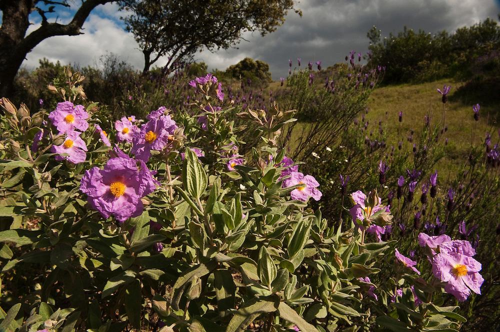 Pink Rock Rose  (Cistus crispus)<br /> Sierra de Andújar Natural Park, Mediterranean woodland of Sierra Morena, north east Jaén Province, Andalusia. SPAIN<br /> <br /> Mission: Iberian Lynx, May 2009<br /> © Pete Oxford / Wild Wonders of Europe<br /> Zaldumbide #506 y Toledo<br /> La Floresta, Quito. ECUADOR<br /> South America<br /> Tel: 593-2-2226958<br /> e-mail: pete@peteoxford.com<br /> www.peteoxford.com