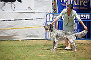 Israel, Tel Aviv, The International Dog Show 2010 English setter