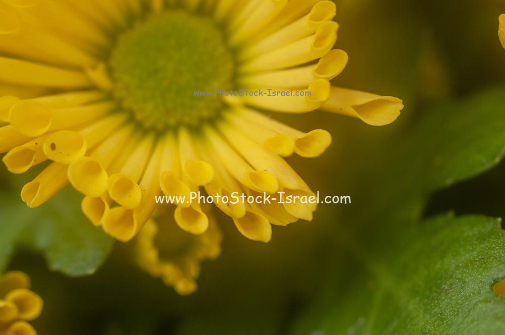 Yellow Chrysanthemum close up