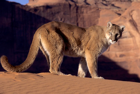 Mountain Lion and Cougar, (Felis concolor) In sand dunes of Monument Valley in northern Arizona. Captive Animal.