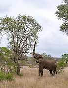 African elephant (Loxodonta africana) feeding in Kruger NP, South Africa.