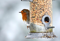 Robin (Erithacus rubecula) at a bird feeder, Westerham, England, : Photo by Peter Llewellyn