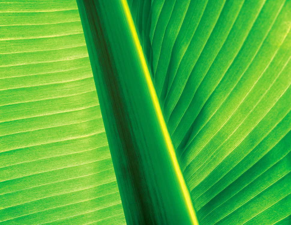 close up of banana leaf backlight by sun