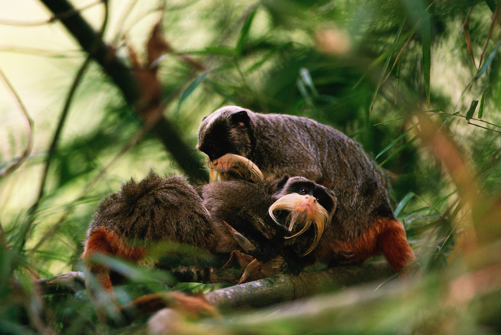 Emperor Tamarins Grooming<br />Saguinus imperator<br />Madre de Dios, Amazon Rain Forest, PERU. South America<br />RANGE; East of Andes in Brazil, Peru and Bolivia<br />CITES 11