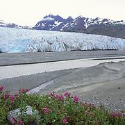 Broad-leaved Fireweed growing on glacial deposits near Riggs Glacier in Glacier Bay National Park, Alaska.