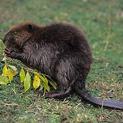 Beaver, (Castor canadensis) Young feeding. Fall. Montana.  Captive Animal.