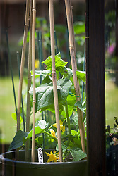 Young courgette plants growing in a greenhouse with cane tripod support. <br /> Cucurbita pepo