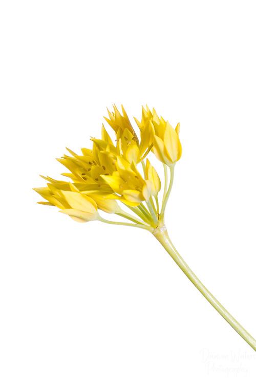 Allium moly, Golden Garlic, high key in meet your neighbours outdoor studio - June