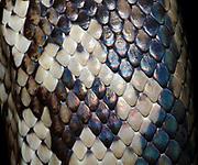 Close-up of the skin pattern of a Carpet python (Morelia spilota) at the King's Lynn Koi Centre Norfolk captive