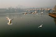 Birds over the Vlatava River in front of the Charles Bridge. Prague, Czech Republic.