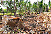 Clearing in a pine forest where all trees have been felled by a violent storm. A tree stub in the foreground. The tree has been folded cracked by the wind. Smaland region. Sweden, Europe.