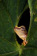 Hourglass Tree Frog (Dendropsophus ebraccatus) CAPTIVE<br /> Chocó Region of NW ECUADOR. South America<br /> RANGE: Belize, Costa Rica, Guatemala, Honduras, Mexico, Nicaragua, Panama, Colombia, Ecuador.