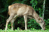 Muntjacs, also known as Barking Deer and Mastreani Deer, are small deer of the genus Muntiacus. Muntjacs are the oldest known deer, appearing 15 to 35 million years ago, Males have short antlers which can regrow, and they tend to fight for territory with their tusks which are rather downward-pointing canine teeth.  Muntjacs are of great interest in evolutionary studies because of their dramatic chromosome variations and the recent discovery of several new species.