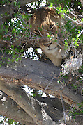 Kenya, Masai Mara, Lioness rests in a tree