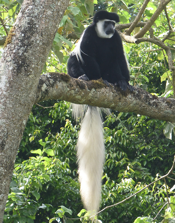 A black and white colobus monkey, the mantled guereza (Colobus guereza), relaxes on tree branches to digest its meal of leaves. Arusha National Park. Arusha, Tanzania.