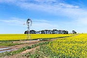 Windmill in a field of canola crop, next to a dirt track in Inverleigh, rural country Victoria, Australia. <br /> <br /> Editions:- Open Edition Print / Stock Image