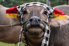 Makepung Buffalo Races, Delodbrawah, Jembrana, West Bali, Indonesia