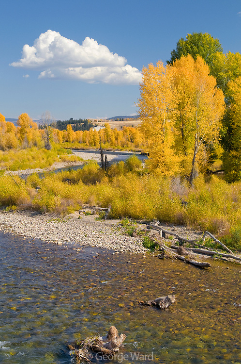 Narrowleaf Cottonwood, Willow and the Gros Ventre River, Grand Teton National Park, Wyoming