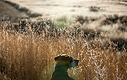 SHOT 12/23/15 4:34:36 PM - Tanner, an 11 year-old male Vizsla, scans the tall grasses of a field in Pueblo, Co. looking for birds at a rest stop. The Vizsla is a dog breed originating in Hungary and are sporting dogs and loyal companions. The Vizsla is a natural hunter endowed with an excellent nose and an outstanding trainability. Although they are lively, gentle mannered, demonstrably affectionate and sensitive, they are also fearless and possessed of a well-developed protective instinct. (Photo by Marc Piscotty / © 2015)