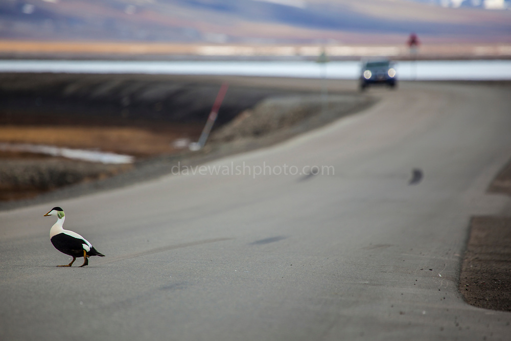 Eider drake stands on a roadway outside Longyearbyen, while craning its neck to vocalise its oh-oooo call. Common Eider Duck, Somateria mollissima, at the dog yard outside Longyearbyen, on the Arctic island of Spitsbergen, Svalbard. The eider nest between two enclosures of sled dogs on the outskirts of Longyearbyen, where the eggs are safe from the arctic fox, which is too scared to come close to the howling dogs.