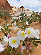 The Desert Primrose (or Dune Evening Primrose, Oenothera deltoides) flower blooms white with yellow center, opening in the early evening and closing in mid-morning. Valley of Fire State Park, dedicated in 1935, is the oldest state park in Nevada. Starting more than 150 million years ago, great shifting sand dunes during the age of dinosaurs were compressed, uplifting, faulted, and eroded to form the park's fiery red sandstone formations. The park also boasts fascinating patterns in limestone, shale, and conglomerate rock. The park adjoins Lake Mead National Recreation Area at the Virgin River confluence, at an elevation of 2000 to 2600 feet (610-790 m), 50 miles (80 km) northeast of Las Vegas, USA. Park entry from Interstate 15 passes through the Moapa Indian Reservation.