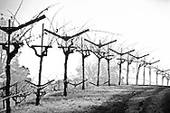 dormant winter vines in a Chiles Valley vineyard. Napa Valley, California