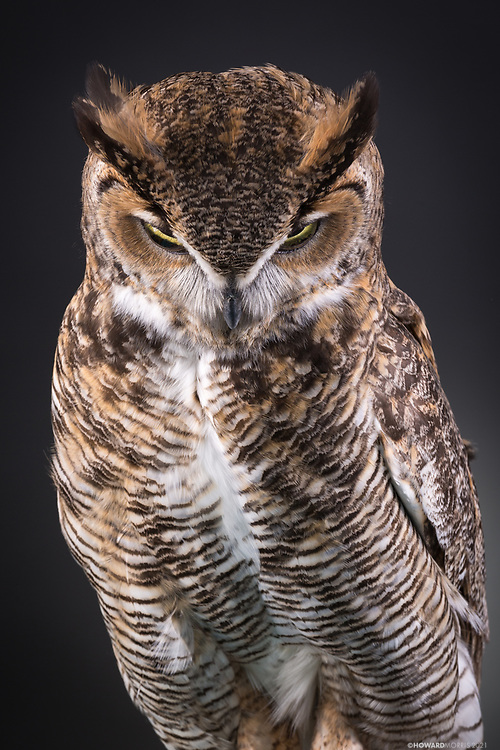 Great Horned Owl (Bubo virginianus). Forrest is imprinted , and now serves as an education bird.