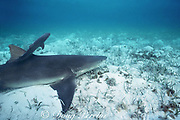 newborn lemon shark pup, Negaprion brevirostris, swims away from mother, Bahamas ( Western Atlantic Ocean )
