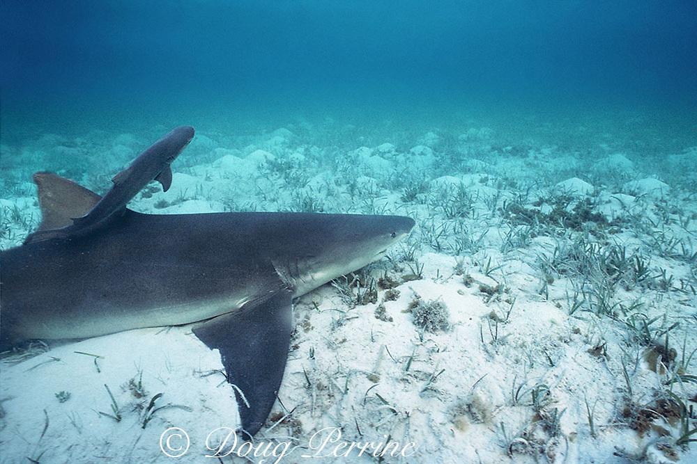 newborn lemon shark pup, Negaprion brevirostris, swims away from mother, Bahamas ( Western Atlantic Ocean )