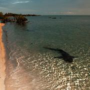 Nurse shark off beach in the Bahamas