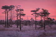 A loose group of scots pines (Pinus sylvestris) in snowy raised bog with gentle pink clouds covering the sky, Kemeri National Park (Ķemeru Nacionālais parks), Latvia Ⓒ Davis Ulands | davisulands.com