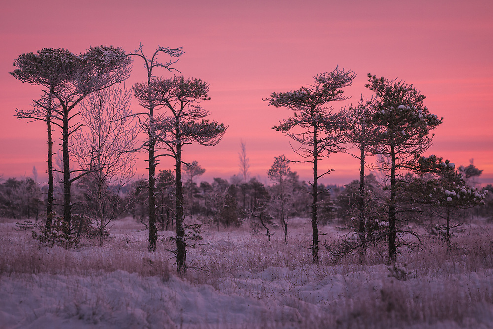 A loose group of scots pines (Pinus sylvestris) in snowy raised bog with gentle pink clouds covering the sky, Kemeri National Park (Ķemeru Nacionālais parks), Latvia Ⓒ Davis Ulands | davisulands.com