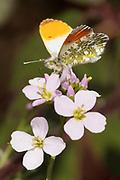Orange tip (Anthocharis cardamines) male nectaring on cuckoo flower (Cardamine pratensis). Surrey, UK.