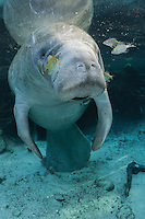 Florida manatee, Trichechus manatus latirostris, a subspecies of the West Indian manatee, endangered. An adult male manatee rests and warms himself in freshwater and sunlight while surrounded by fish, bream, Lepomis spp. The manatee is tolerating the fish attention as it is the price to pay for sharing the warm waters. Bream target dermis and dead skin on the manatee. Vertical orientation with warming sunlight. Three Sisters Springs, Crystal River National Wildlife Refuge, Kings Bay, Crystal River, Citrus County, Florida USA.