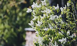 THEMENBILD - ein weißer Fliederbusch, aufgenommen am 08. Mai 2020, Bramberg, Österreich // a white lilac bush on 2020/05/08, Bramberg, Austria. EXPA Pictures © 2020, PhotoCredit: EXPA/ Stefanie Oberhauser