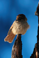 KOROUMA; POSIO; FINLAND 2009; EUROPE; WINTER; BIRD PHOTOGRAPHY; PHOTO HIDE; WILD SIBERIAN JAY; Perisoreus infaustus