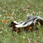 Striped Skunk, (Mephitis mephitis) Two young skunks crossing blooming meadow, foraging for food. Summer. Captive Animal.