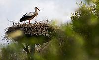 ZWOLLE - Ooievaar , vogel, bij hole 14 van Golf Club Zwolle . COPYRIGHT KOEN SUYK