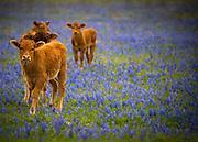 Santa Cruz calves in a south Texas meadow, just outside San Antonio, Texas