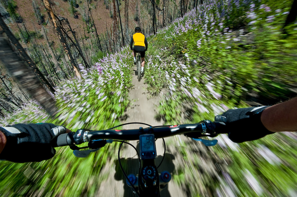 Man mountain biking with panned motion following another mountain biker through recent forest fire terrain alive with wild flowers. MR